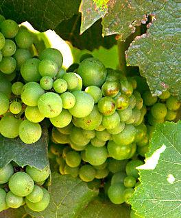 Sauvignon blanc druif strak met veel zuren aan de wijnrank