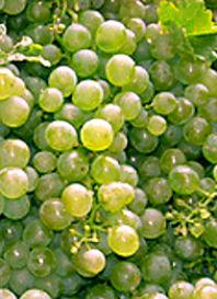 Sauvignon blanc druif strak met veel zuren en klaar om te vergisten