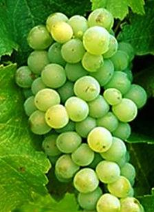 Sauvignon blanc druif strak met veel zuren rijp en klaar om geplukt te worden