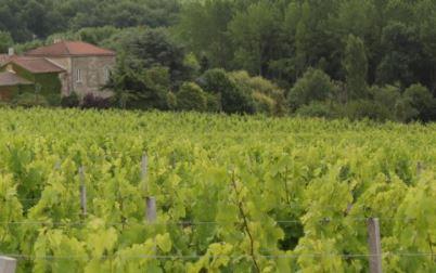 Hardlopen Tussen De Wijngaarden Van Bordeaux Wijngekken