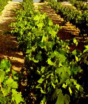 de wijnen van Ribera del Duero - de tempranillo of de tinto fino