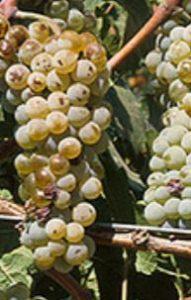 De witte druif Auxerrois
