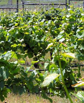 De witte druif Auxerrois aan de druivenrank