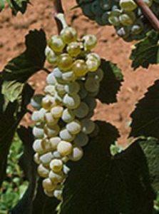 De witte druif Auxerrois detail