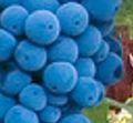 Zinfandel druif, zacht druivenras met veel kleur