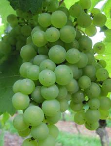 Bourgogne Pinot Noir, rode wijn met klasse
