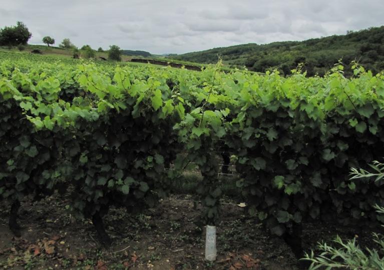 Bourgogne, land van Pinot Noir