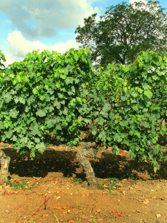 Chenin Blanc wijn, een druif met oude stok