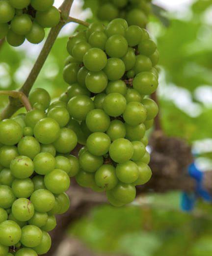 Chenin Blanc wijn, een druif om trots op te zijn