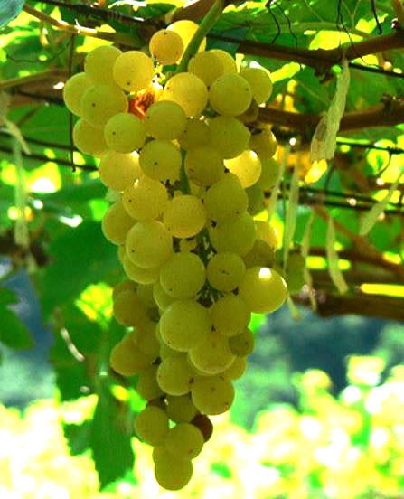 Chenin Blanc wijn is van alle markten thuis