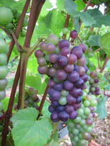 De classificatie van Bourgogne