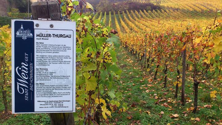 Duitse wijngaarden staan online Muller-Thurgau