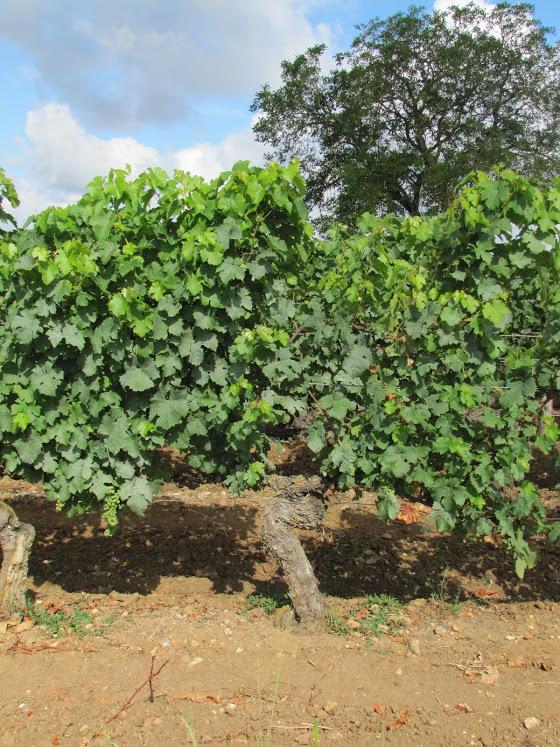 Wijn uit de Loire past bij elke maaltijd oude stokken chenin blanc