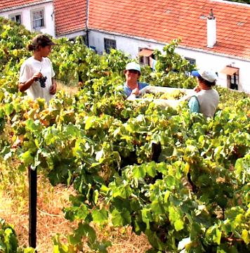 Douro wijngebied en veel druivenplukkers
