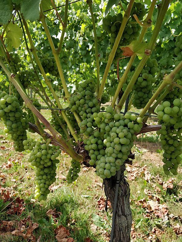 Wijngaard de Frysling