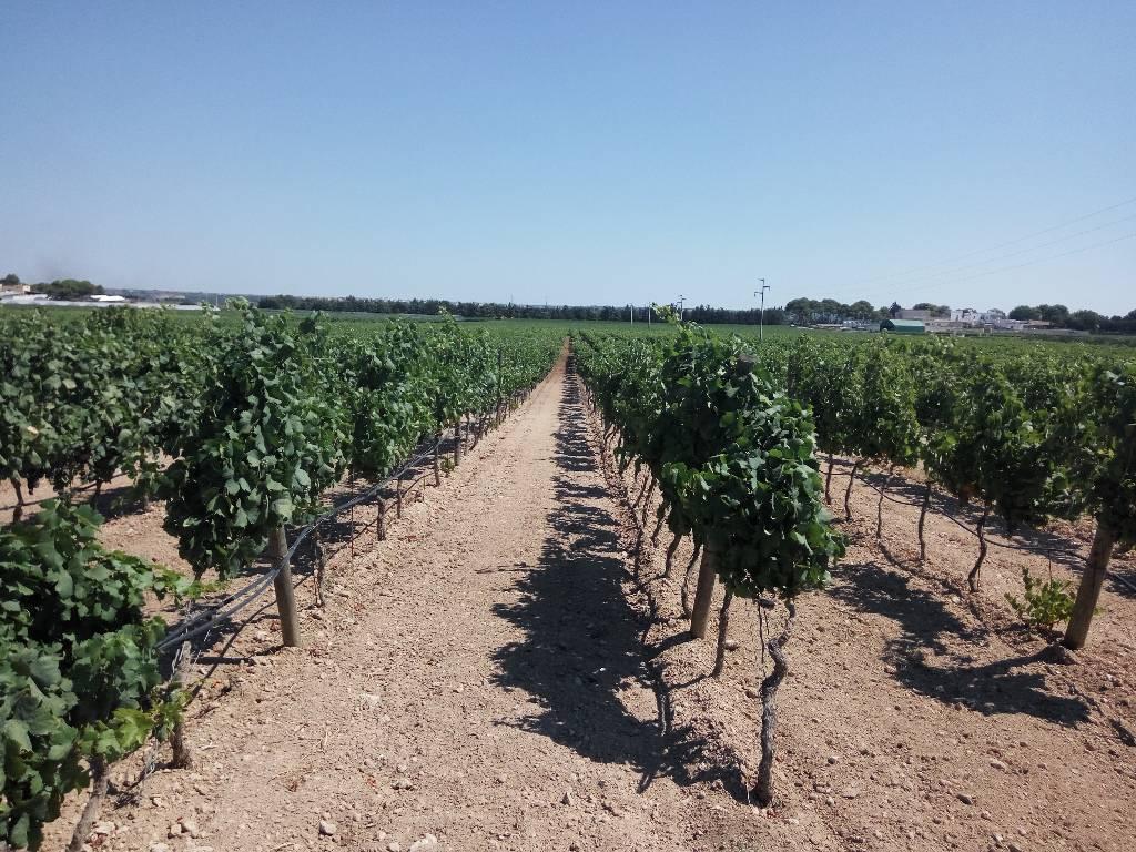 Primitivo is de druif uit Zuid-Italië white soil