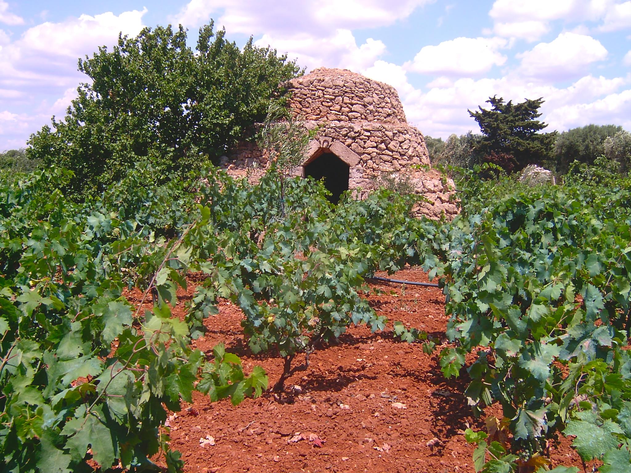 Primitivo is de druif uit Zuid-Italië