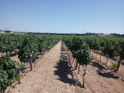 druiven uit Italië