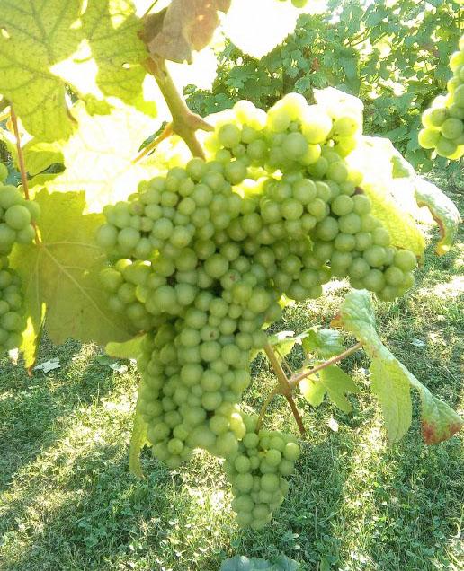 De wijngaarden van Miraval