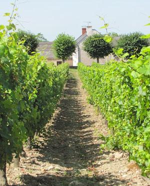 Saumur-Champigny, de cabernet franc
