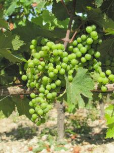 Saumur, de witte druif is Chenin Blanc