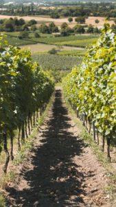 Hongaarse wijn was lange tijd impopulair, maar is helemaal klaar voor een comeback. Ontdek de lekkerste Hongaarse wijnsoorten.