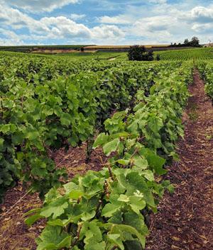 Champagne gaat meer biologische wijn maken