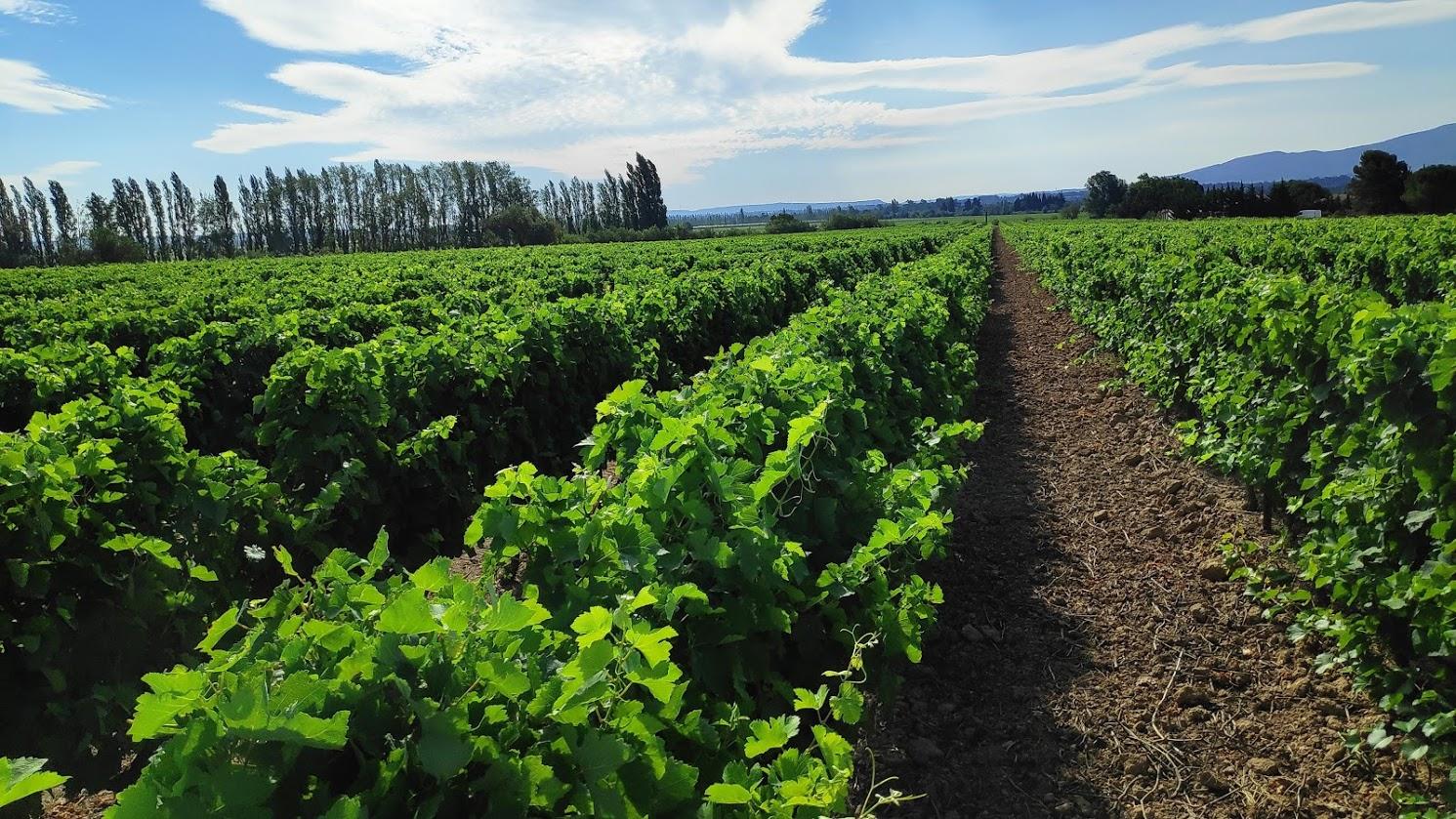 De wijngebieden van de Languedoc