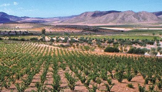 Oude druif wordt opnieuw aangeplant