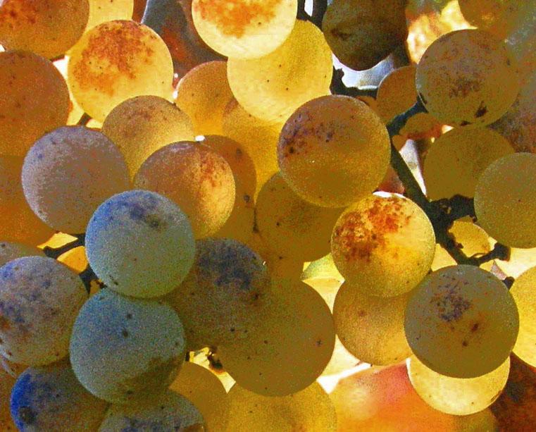 Ribera del Duero, nu ook voor witte wijn