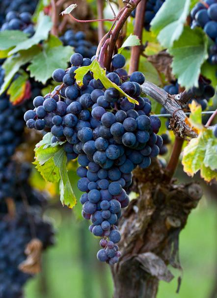 De Dolcetto druif heeft een relatief lage zuurgraad, mede door het klimaat van Piemonte krijgen de wijnen dan ook een frissere toon. De Dolcetto heeft ook zachte tannines en ze geeft wijnen een combinatie van veel zwart fruit met viooltjes. Vooral de fruitigheid is kenmerkend voor de Dolcetto wijnen en de combinatie van het zwarte fruit met de viooltjes maakt de wijnen zeer toegankelijk.