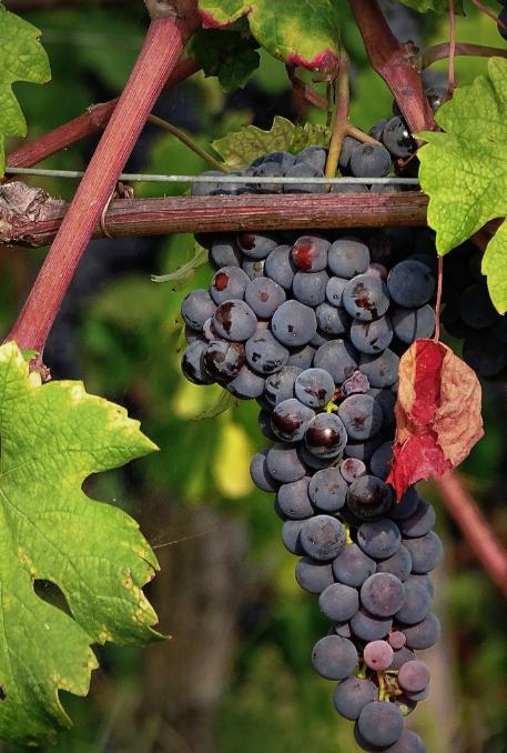 De Dolcetto is een druivenras dat specifiek voorkomt in Italië. Met name Noord-Italië heeft een uitstekend klimaat voor de Dolcetto druif.