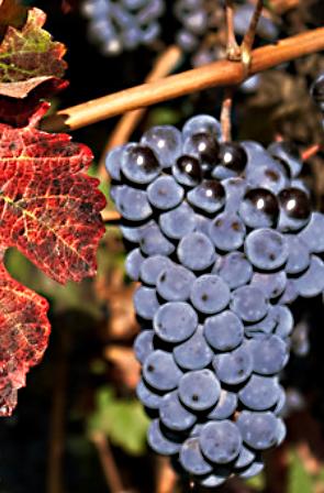 Lambrusco is een lichte verfrissende wijn. Ze kan zware/vette maaltijden begeleiden, maar kan ook gedronken worden als zomerwijn, bij bijvoorbeeld een picknick.