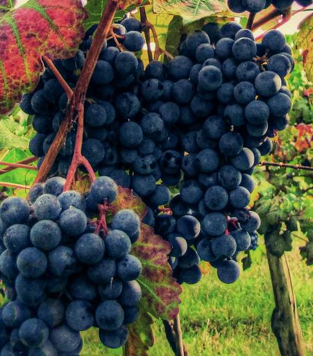 Lambrusco, een wijn die valt in de categorie slobberwijnen. Helaas is het zo, maar de Lambruscodruif verdient het niet en dit druivenras kan mooie wijnen produceren.
