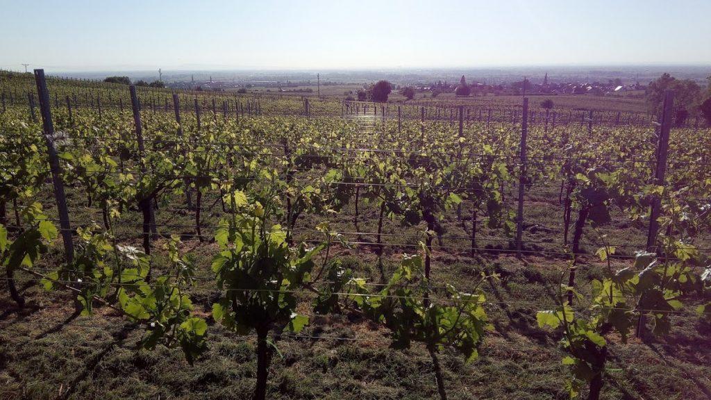 Klimaatverandering gaat de wijnbouw veranderen