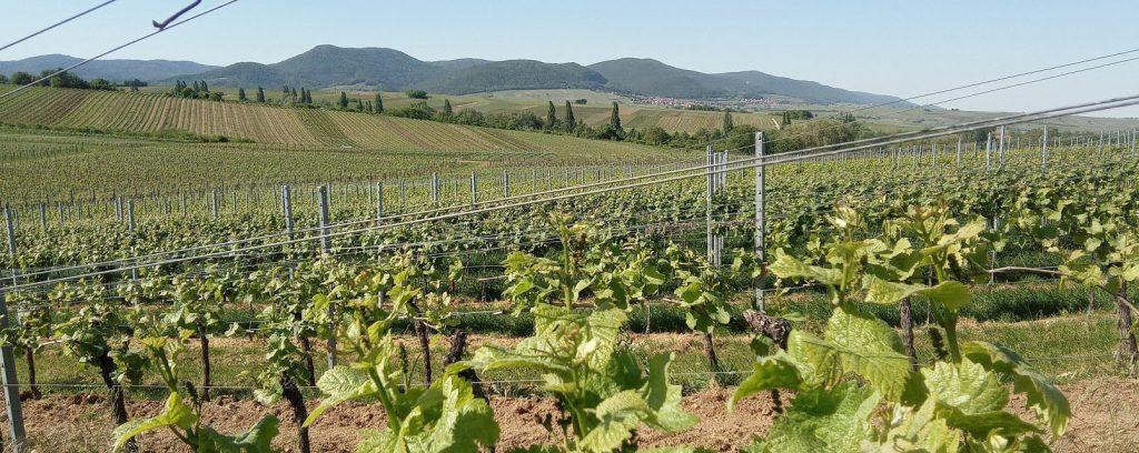 Glooiende hellingen en heerlijk kamperen in Duitsland tussen de wijngaarden