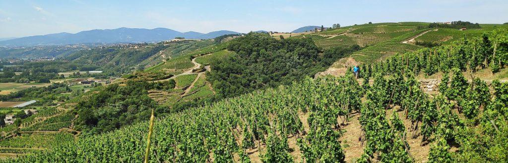 Druivenranken in het noorden van de Cotes du Rhone