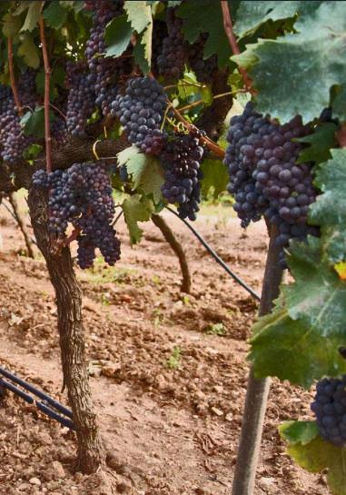 Negroamaro is een écht Italiaans druivenras. Dit druivenras brengt in het zuiden van Italië heel mooie wijnen voor.
