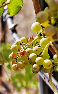 Scheurebe, de Duitse Sauvignon Blanc?